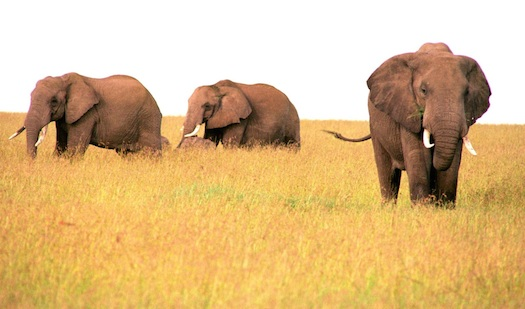 elephant-657769